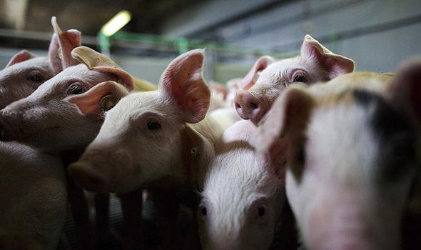 유럽4-서유럽, 돼지 콜레라 발견 비상 익스프레스지.JPG